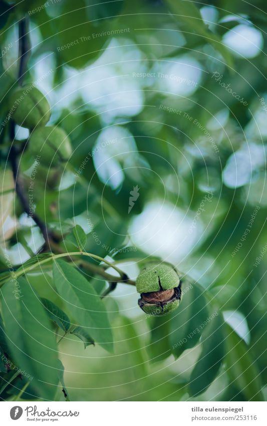 Nature Green Tree Plant Leaf Natural Sheath Twigs and branches Walnut Walnut leaf