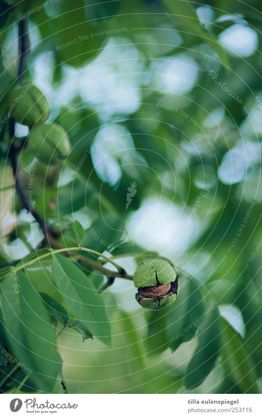 nutty. Nature Tree Leaf Natural Green Walnut Walnut leaf Sheath Twigs and branches Blur Plant Colour photo Exterior shot