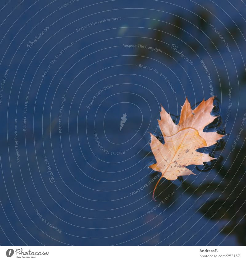 oak leaf Environment Nature Plant Water Autumn Tree Leaf Swimming & Bathing Sadness Blue Yellow Grief Death Wanderlust Disappointment Loneliness Transience