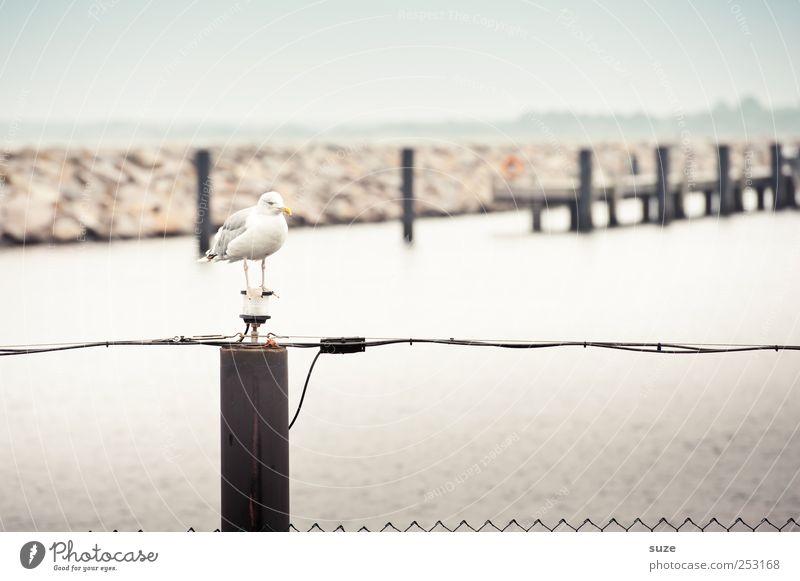 seagull pick Ocean Environment Animal Sky Cloudless sky Horizon Coast Harbour Wild animal Bird 1 Wait Seagull Footbridge Fence Pole Wooden stake Jetty Rostock
