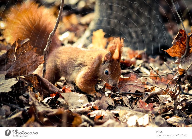 squirr Nature Tree Leaf Animal Forest Brown Wild animal Observe Animal face Discover Tails Crawl Claw Squirrel