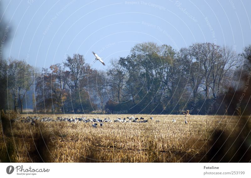 Linum 1.0] Crane collection point Environment Nature Plant Animal Sky Cloudless sky Autumn Tree Field Wild animal Bird Wing Flock Natural Flying Colour photo