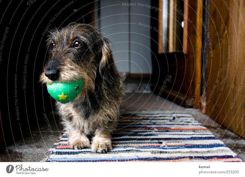 Wurzi and the ball Playing Interior design Decoration Carpet Door Animal Pet Dog Animal face Pelt Paw Dachshund rough-haired dachshund Muzzle 1 Ball Rubber ball