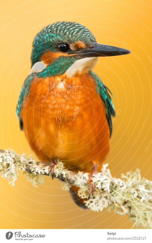 Kingfisher perched on a branch in its natural habitat Exotic Beautiful Adults Environment Nature Animal Park Bird Observe Natural Wild Blue Green White Colour