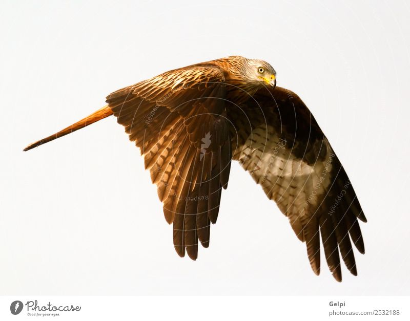 Awesome bird of prey in flight with the sky of background Nature Animal Sky Bird Wing Flying Speed Wild Blue Gold White wildlife raptor predator kite Story