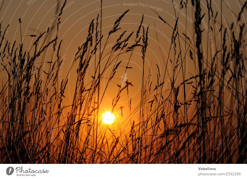 Grasses with evening sun Sun Nature Cloudless sky Sunrise Sunset Sunlight Summer Plant Meadow Emotions Romance Evening sun Dusk Exterior shot Silhouette