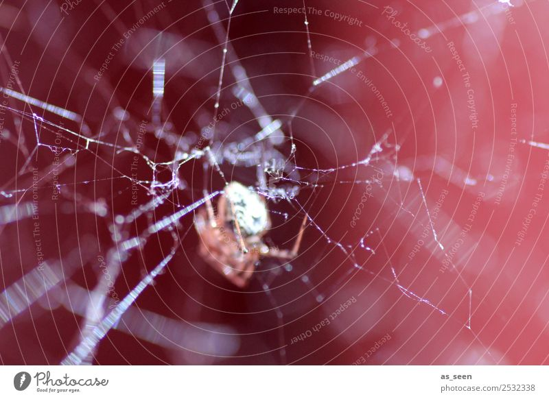 On the net Animal Spider Spider's web Insect 1 Network Glittering Hunting Authentic Exceptional Threat Disgust Creepy Near Brown Red Black White Emotions