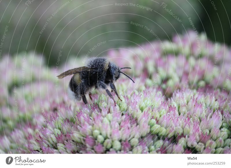 So eager Plant Drops of water Flower Blossom Wild plant Garden Bumble bee 1 Animal Work and employment Crouch Fresh Glittering Delicious Wet Blue Multicoloured