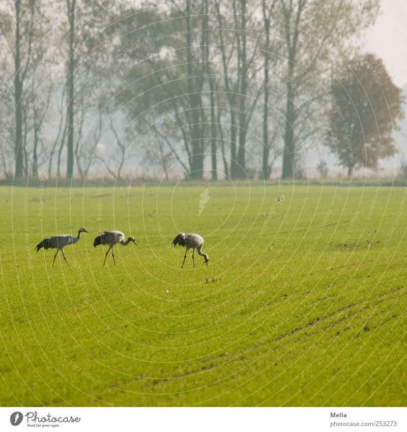Nature Green Animal Meadow Environment Freedom Landscape Bird Field Together Going Natural Stand To feed Crane