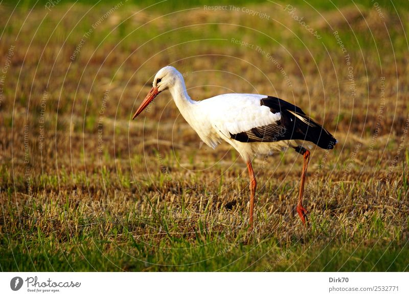 Adebar. Nature Sunlight Summer Beautiful weather Grass Meadow Field Pasture Bremen Animal Wild animal Bird Stork White Stork 1 Going Looking Natural Pride