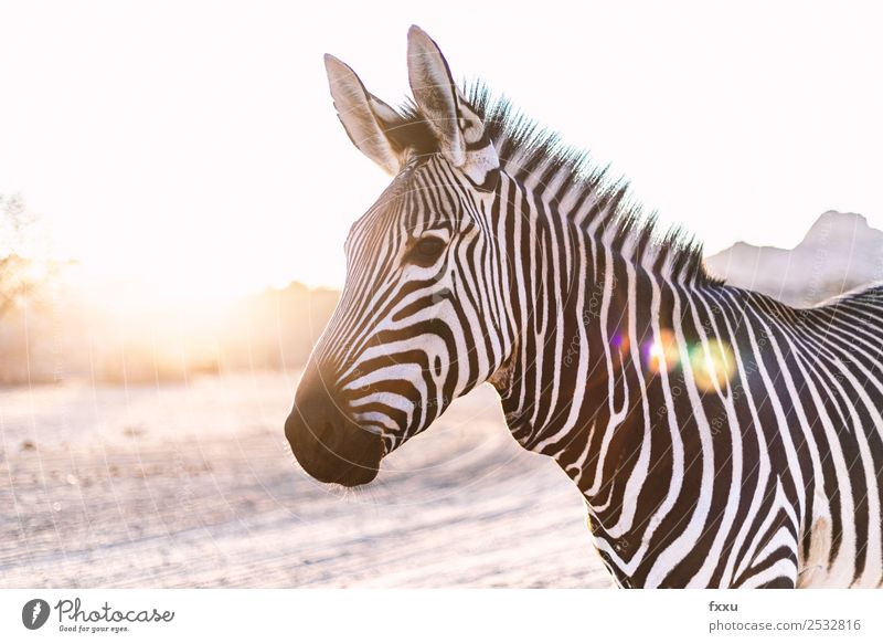 Zebra in backlight at sunset Wild animal Africa Animal big game Wilderness Mammal Head Nature South Africa Safari Back-light Moody Savannah Silhouette Romance