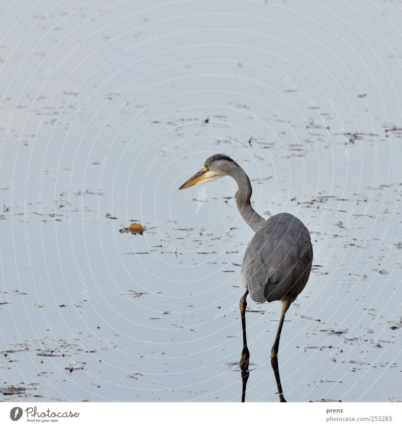 wait for fish Pond Lake Animal Wild animal Bird 1 Water Looking Stand Wait Blue Gray Heron Grey heron Leaf Coast Exterior shot Deserted Copy Space left