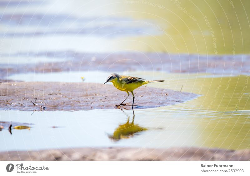 "a wagtail looks for food in shallow water Animal Bird ""Yellow Wagtail Motacilla flava"" 1 To feed Hunting Nature ""Wild bird Germany Barnim Brandenburg Water"