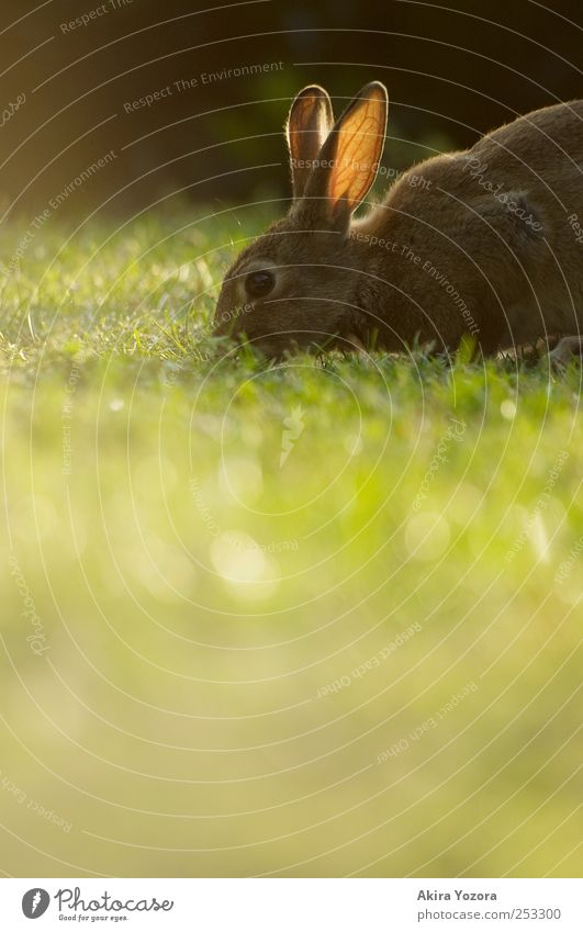 Natural lawn mower Nature Grass Meadow Animal Pet Wild animal Hare & Rabbit & Bunny 1 Feeding Brown Green Black Colour photo Exterior shot Deserted