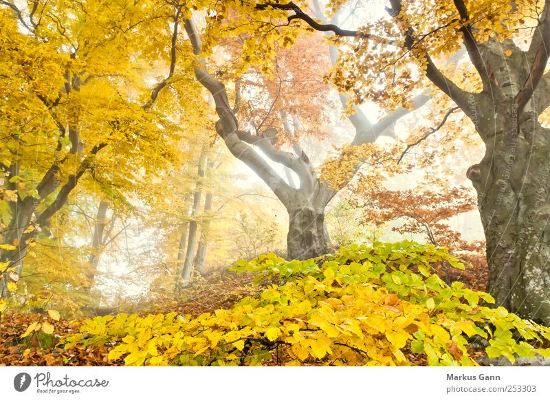 autumn forest Nature Plant Autumn Weather Fog Tree Forest Natural Brown Yellow Gold Green Autumnal Enchanted forest Deciduous tree Leaf Light Colour photo