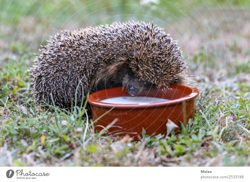 hedgehogs Animal Autumn Baby Sphere Curls Cute Defensive Hedgehog Leaf Mammal Nature Natural Needle Thorny Protection Rodent Wild animal Drinking Green Milk