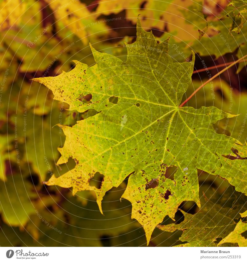 maple leaf Nature Tree Yellow Green Red Maple tree Maple leaf Autumn Autumn leaves Leaf Autumnal colours Colour Play of colours Seasons Natural Still Life