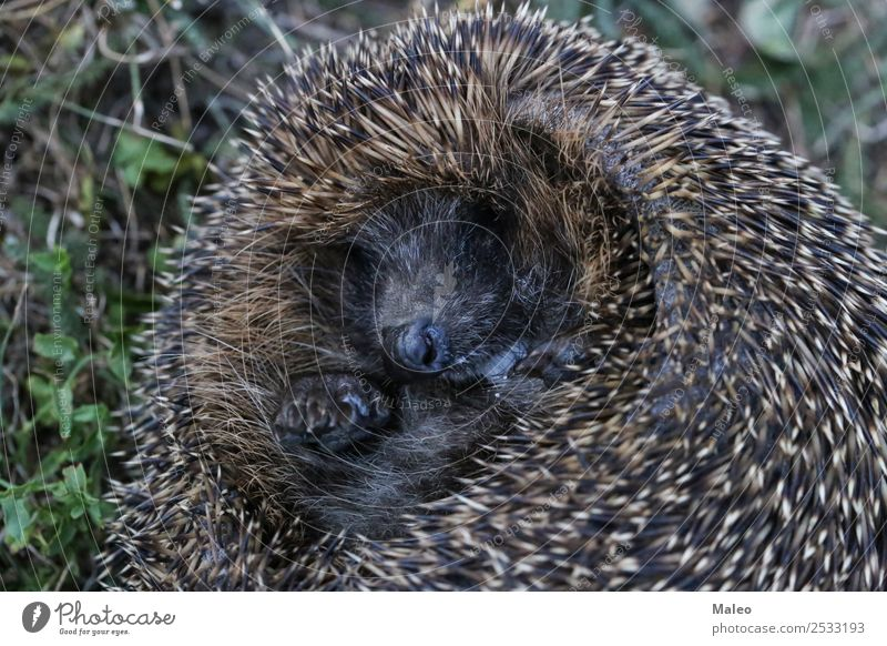 hedgehogs Hedgehog Coil Roll Ball Animal Autumn Baby Sphere Curls Cute Defensive Mammal Nature Natural Needle Thorny Protection Rodent Sleep Wild animal