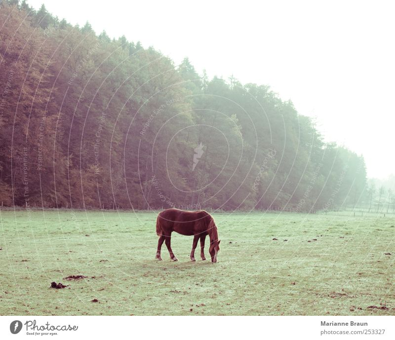 Outdoors Nature Farm animal Feeding Brown Green Horse Pasture To feed Grass Landscape Seasons Autumn November Precipitation Fog Morning fog Animal Foal