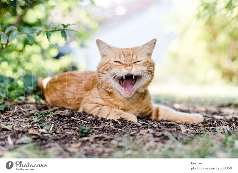 show teeth Well-being Contentment Relaxation Calm Leisure and hobbies Summer Nature Plant Earth Beautiful weather Bushes Garden Animal Pet Cat Animal face Pelt