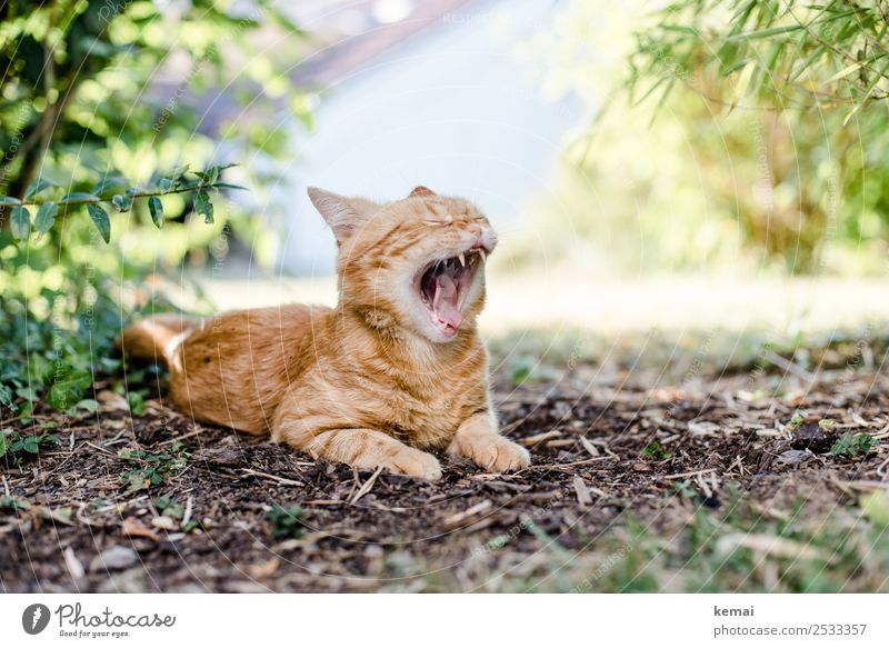 yawn Well-being Contentment Relaxation Calm Leisure and hobbies Nature Earth Summer Beautiful weather Plant Grass Bushes Garden Park Animal Pet Cat Animal face