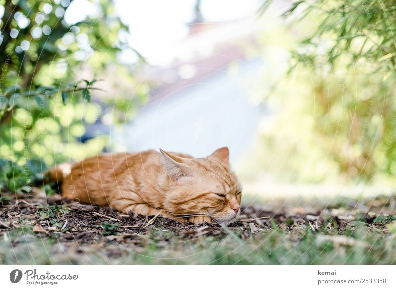 Cat falls asleep Lifestyle Harmonious Well-being Contentment Relaxation Calm Freedom Summer Sun Landscape Plant Beautiful weather Warmth Bushes Garden Animal