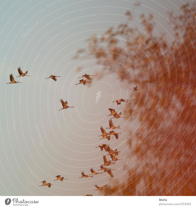 [Linum 1.0] Evening flight Environment Nature Animal Air Tree Bird Crane Migratory bird Flock Movement Flying Free Together Natural Freedom Colour photo