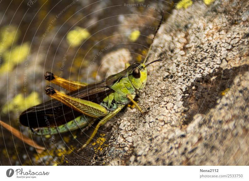rockhopper Animal Green Insect Locust Summer Small Hop Jump Stone Colour photo Exterior shot Close-up Detail Macro (Extreme close-up) Deserted Day Light