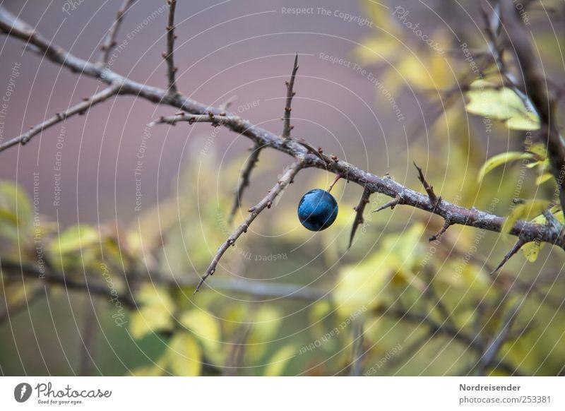 Nature Blue Green Plant Colour Autumn Moody Fruit Natural Bushes Threat Violet Harvest Berries Thorn Sour