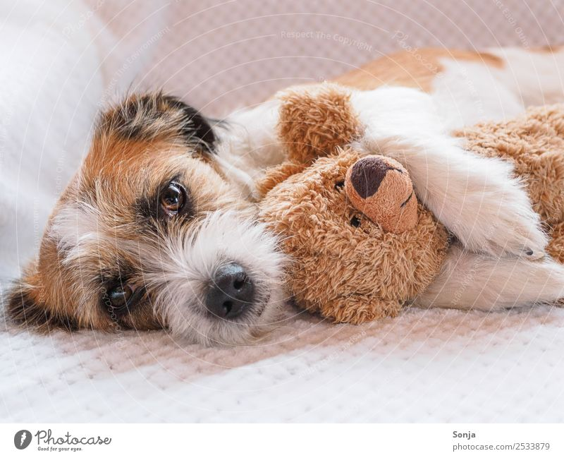 Dog, Pet, Animal Animal face Pelt 1 Teddy bear white ceiling To enjoy Love Lie Sleep Embrace Happy Beautiful Cuddly Cute Soft Brown White Emotions Contentment