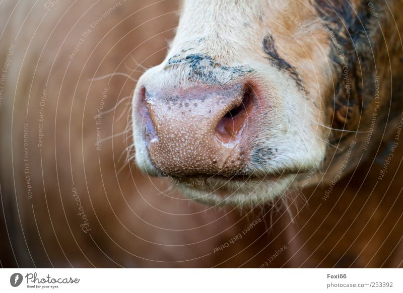 """Fleamouth- Chamansuelz 2011 Food Dairy Products Farm animal Cow """"Cattle, mammal."""" Animal Natural Brown Yellow Black White Love of animals Authentic Life"""