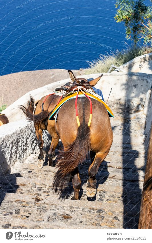 Donkeys coming down the stairs in Thira, Santorini, Greece Sky Vacation & Travel Old Summer Blue Town Water Landscape White Flower Ocean