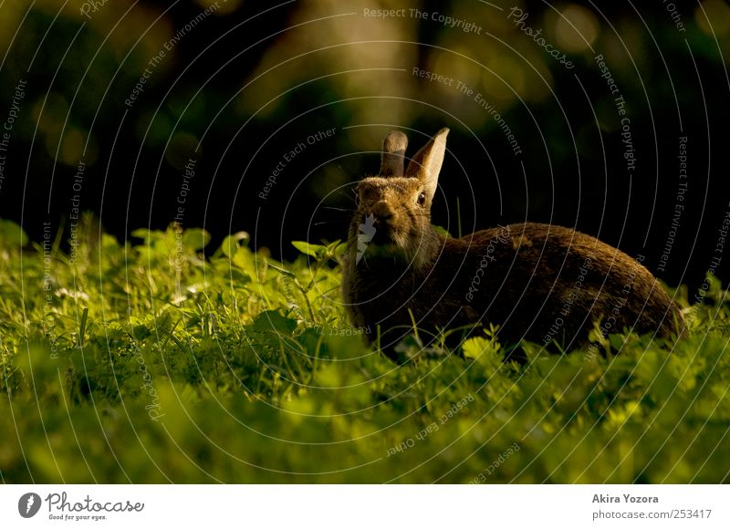 sunbathe Nature Grass Meadow Animal Pet Wild animal 1 To enjoy Brown Green Black Hare & Rabbit & Bunny Colour photo Exterior shot Deserted Copy Space left