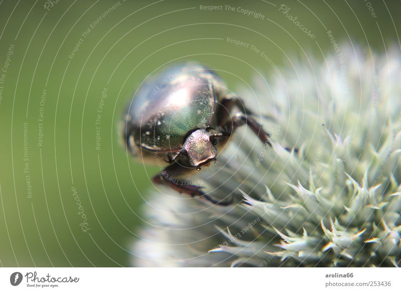 Nature Plant Green Flower Animal Blossom Glittering Animal face To feed Beetle Wild plant Thistle Macro (Extreme close-up) Bright background Rose beetle