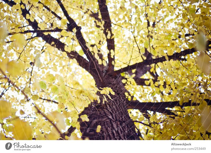 golden leaves Nature Tree Leaf Forest Esthetic Yellow Gold Autumn Tree trunk Colour photo Exterior shot Deserted Day Light Blur