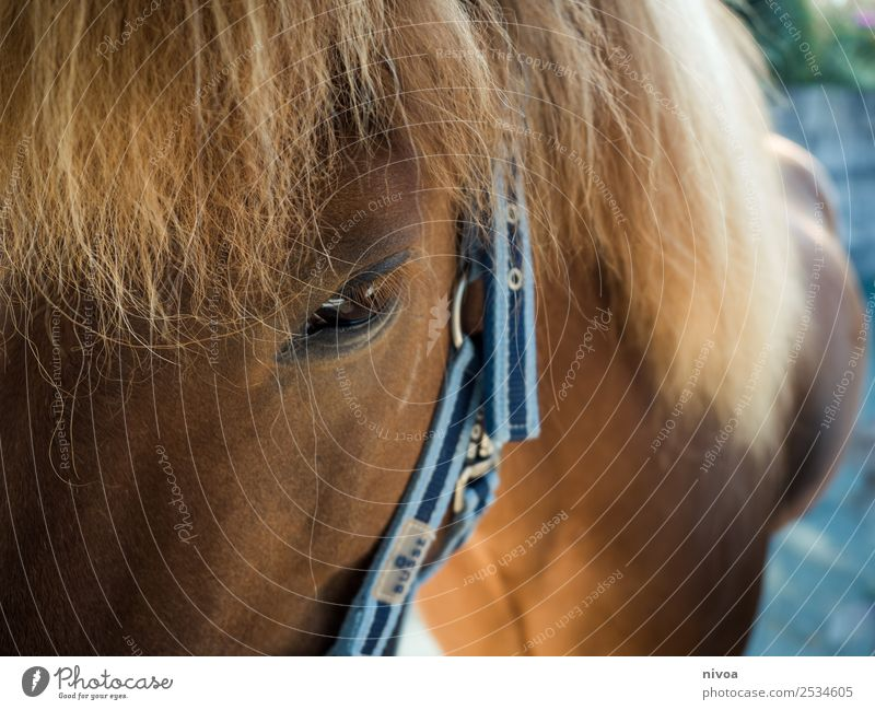 Icelandic horse profile Happy Harmonious Contentment Relaxation Leisure and hobbies Ride Vacation & Travel Adventure Freedom Sports Environment Nature Landscape