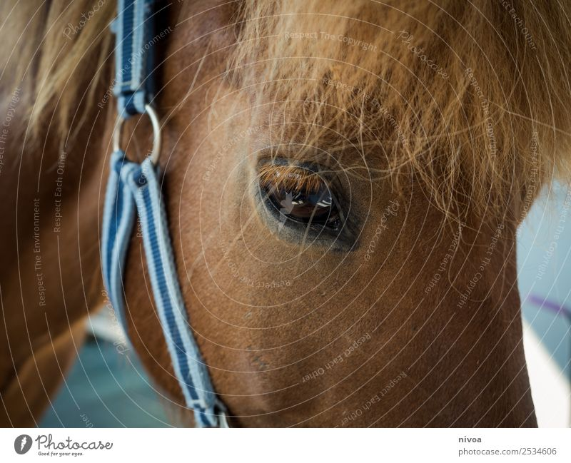 Icelandic horse in profile Leisure and hobbies Ride Trip Sports Animal Farm animal Horse 1 Halter Mane Pelt Icelander Observe Touch Looking Stand Friendliness