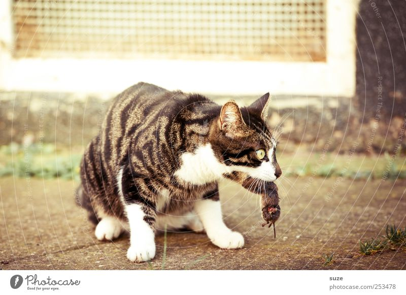 Animal Death Cat Sit Wait Catch Hunting Mouse Pet To feed Domestic cat Muzzle Prey Cat food