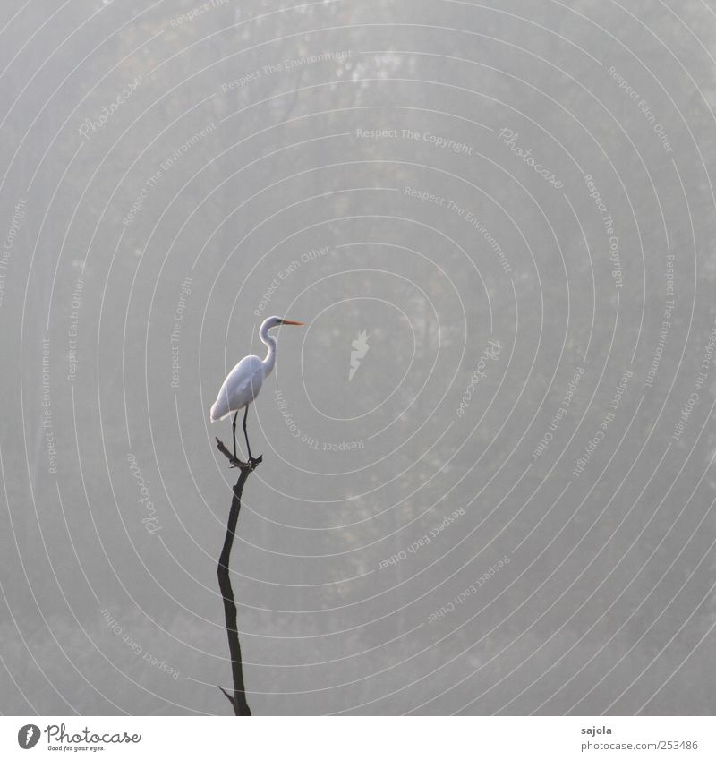 CD - Great White Egret Environment Nature Animal Wild animal Bird Great egret 1 Stand Wait Esthetic Gray Fog Cloud forest Colour photo Subdued colour