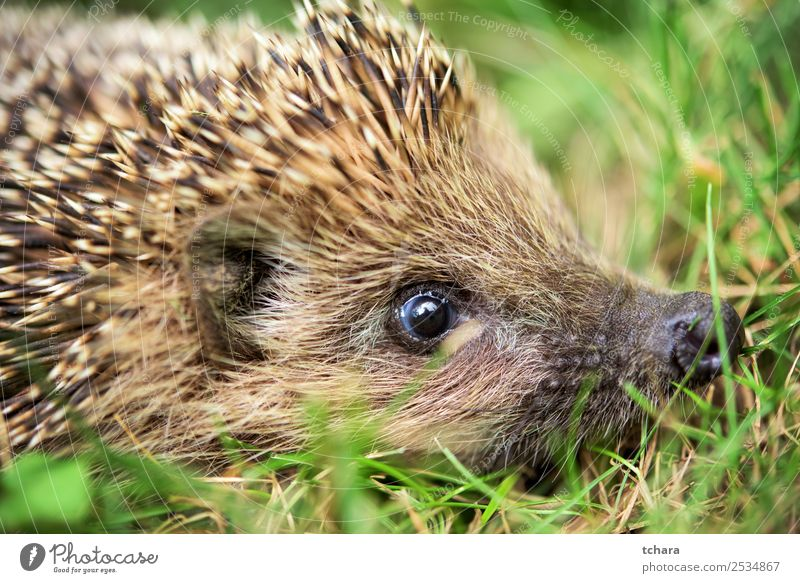 Hedgehog - close up Garden Art Nature Animal Autumn Grass Moss Leaf Forest Sleep Small Natural Cute Thorny Wild Brown Gray Green Protection European wildlife