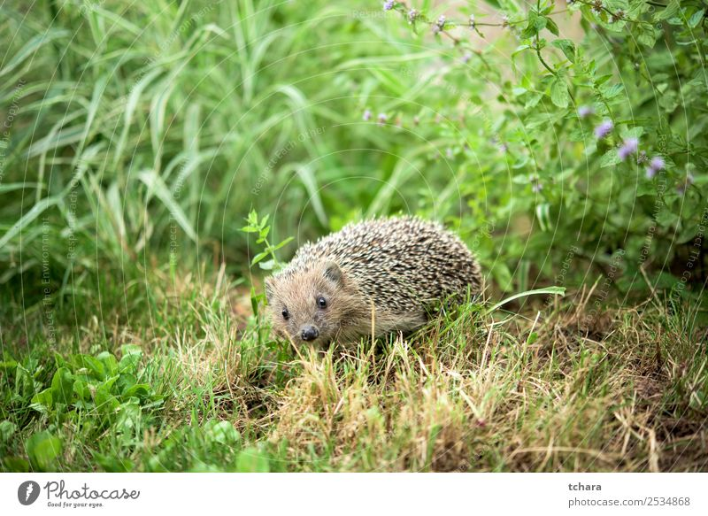 Hedgehog in the garden Garden Art Nature Animal Autumn Grass Moss Leaf Forest Sleep Small Natural Cute Thorny Wild Brown Gray Green Protection European wildlife