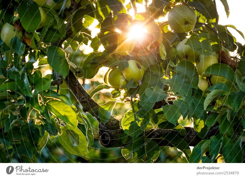 Apple tree against the light Vacation & Travel Tourism Trip Sightseeing City trip Expedition Hiking Environment Nature Plant Animal Summer Beautiful weather