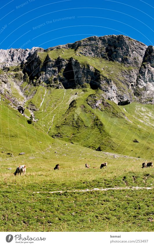 mountain pasture Mountain Hiking Environment Nature Landscape Plant Animal Cloudless sky Sun Sunlight Summer Beautiful weather Grass Hill Rock Alps To feed Blue