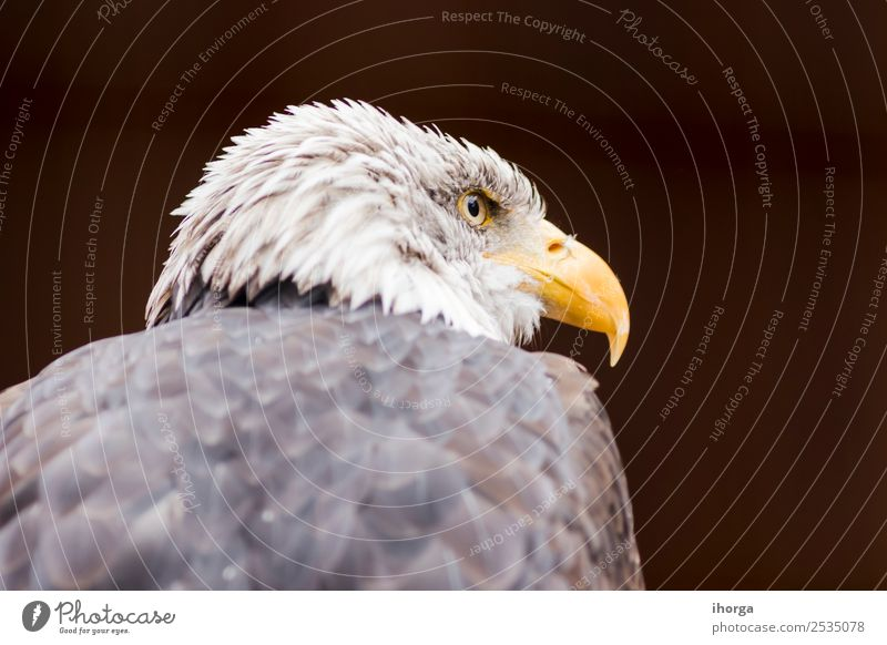 Portrait of a bald eagle (haliaeetus leucocephalus) Face Freedom Nature Animal Bald or shaved head Wild animal Bird Animal face Wing 1 Brown Yellow Black White