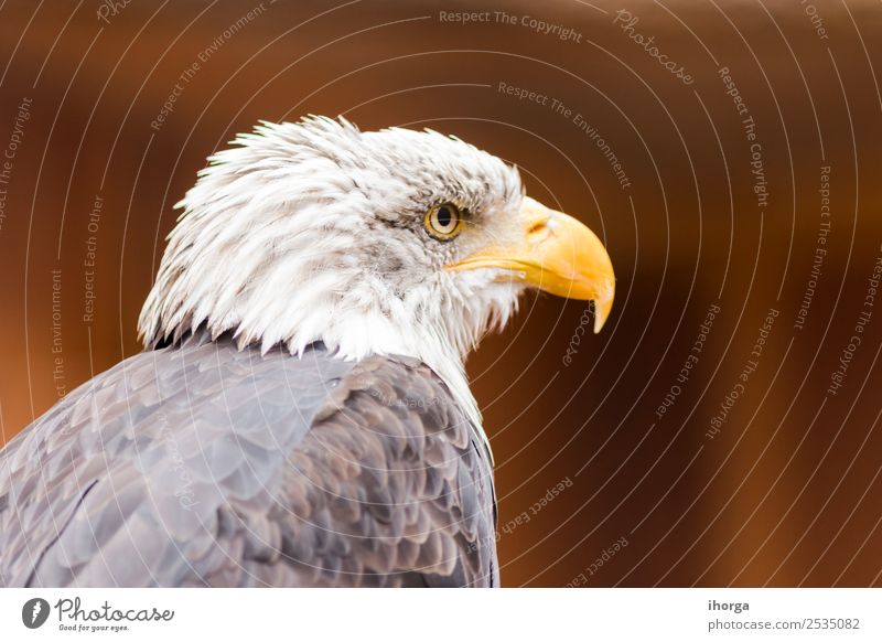 Portrait of a bald eagle (haliaeetus leucocephalus) Nature White Animal Black Face Yellow Freedom Bird Brown Wild Wild animal Feather Wing Symbols and metaphors