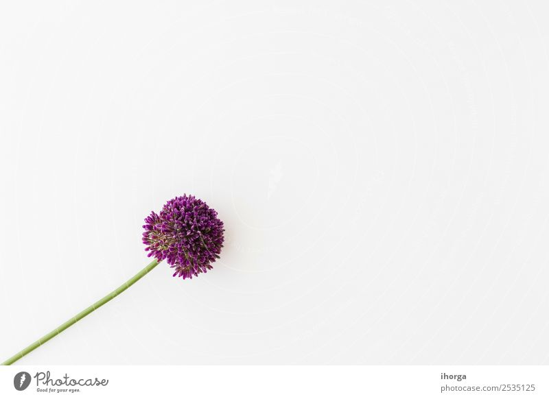 Allium isolated on white background Vegetable Herbs and spices Elegant Beautiful Summer Garden Decoration Valentine's Day Mother's Day Nature Plant Flower