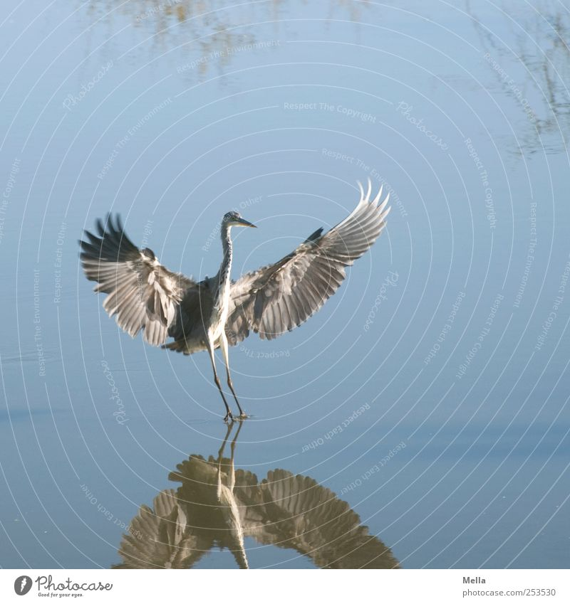 Come in my arms! Environment Nature Animal Water Pond Lake Bird Wing Heron Grey heron Feather Plumed 1 Flying Stand Elegant Free Natural Blue Freedom Landing