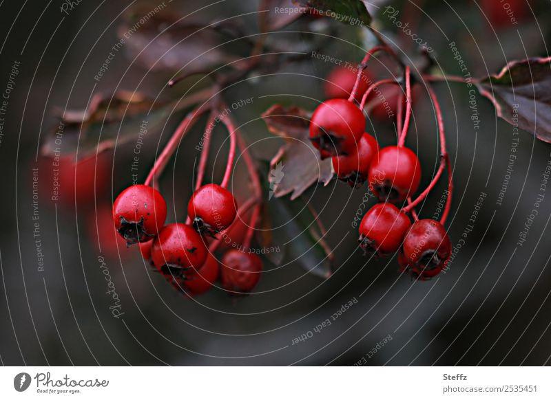 rose hips Nature Plant Autumn Flower Wild plant Rose hip Berries Medicinal plant Garden Park Dark Beautiful Brown Gray Red Sense of Autumn November mood