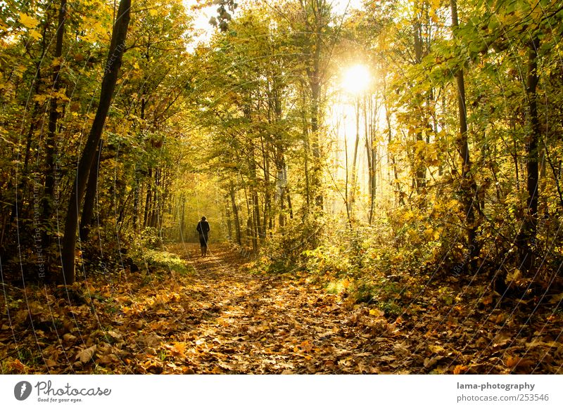 Human being Tree Sun Leaf Yellow Autumn Gold To go for a walk Autumn leaves Forest Going Morning Deciduous forest Automn wood