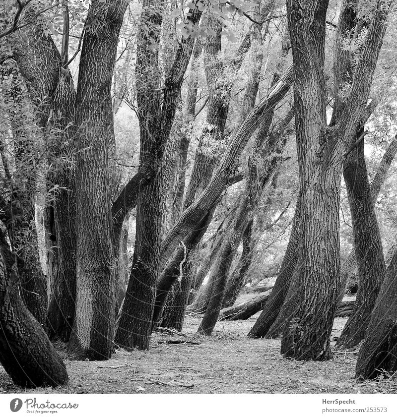 In the floodplain forest Environment Nature Landscape Plant Tree Forest Old Rich pasture Deciduous tree Tree trunk Branch Muddled Black & white photo